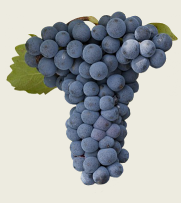 Lanza Extra Select Northern California Mouvedre Grapes