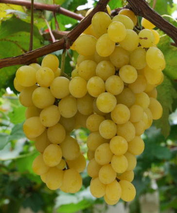 Central Valley California Muscat Grapes