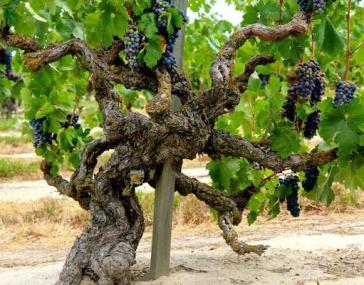 Central Valley California Old Vine Zinfandel Grapes