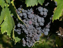 Fresh North California Sagrantino Grapes
