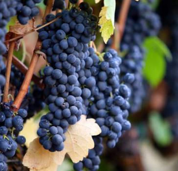 Central Valley California Syrah Grapes