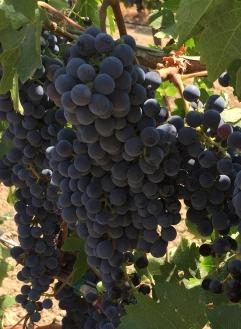 Lanza Extra Select Suisun Valley Tempranillo Grapes