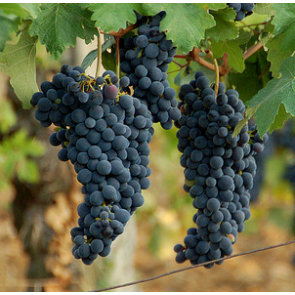 Central Valley California Barbera Grapes