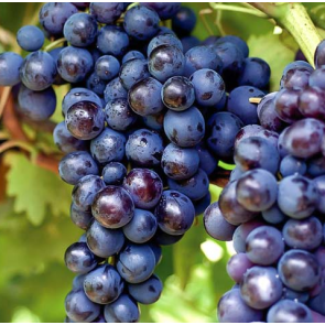 Central Valley California Black Muscat Grapes
