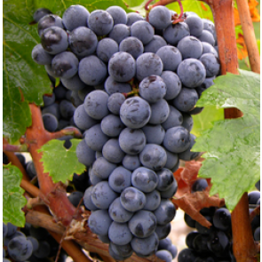 Central Valley California Cabernet Franc Grapes