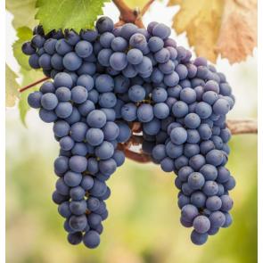 Lanza Suisun Valley Cabernet Sauvignon (15) Grapes
