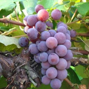 Catawba Grape Vines