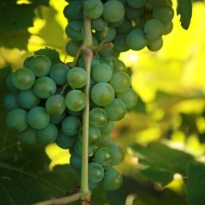Niagara White Grape Vines