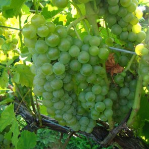 Seyval Blanc white grape vines