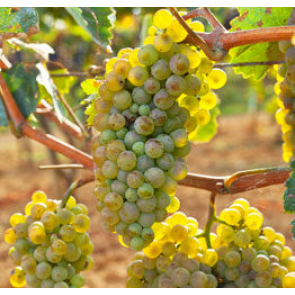 Central Valley California French Colombard Grapes