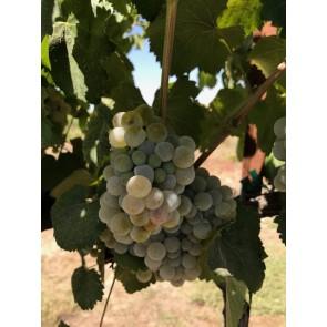 Kings River Valley Albarino Grapes
