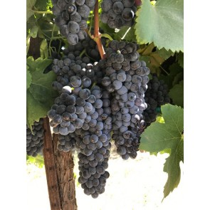 South African Shiraz Grapes