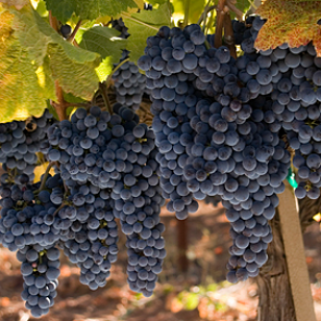 Central Valley California Merlot Grapes