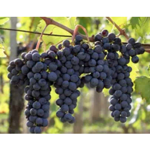 Northern California Grapes