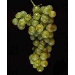 Fresh Ancient Vine Muscat Canelli Grapes