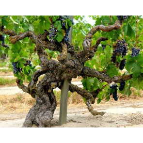 Central Valley California Old Vine Zinfandel Grapes