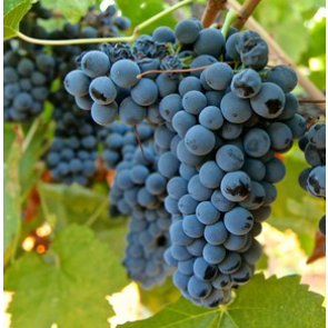 Central Valley California Petite Syrah Grapes