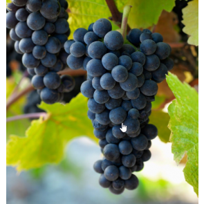 Central Valley California Pinot Noir Grapes