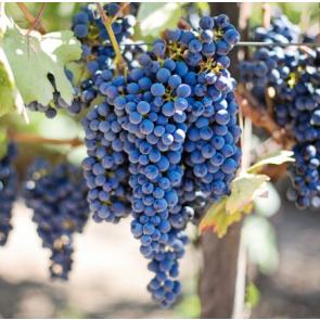 Mettler Ranch California Pinotage Grapes