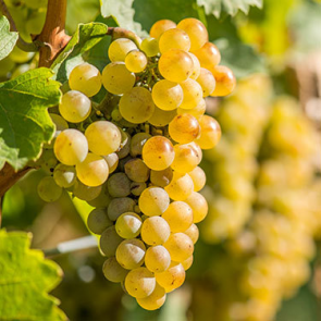 Central Valley California Riesling Grapes