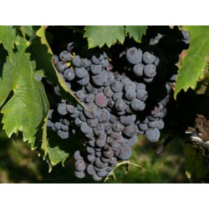 Fresh North California Sagrantino Grapes