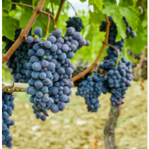 Central Valley California Sangiovese Grapes