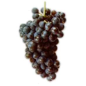 Syrah - Fresh Chilean Grapes