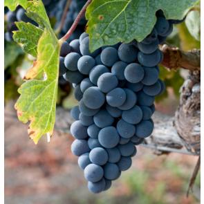 Amador California Zinfandel Grapes