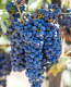 Contra Costa Northern California Aglianico Grapes