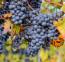 Central Valley California Alicante Grapes