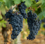Lanza Suisun Valley Barbera Grapes