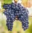 Lanza Suisun Valley Cabernet Sauvignon (VALLEY) Grapes