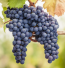 Sonoma (Chalk Hill) California Cabernet Sauvignon Grapes