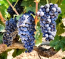 Lanza Suisun Valley  Merlot Grapes