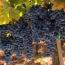 Central Valley California Merlot Grapes