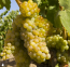 Lanza Extra Select Suisun Valley Muscat Canelli Grapes