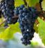 Central Valley California Pinot Noir Grapes